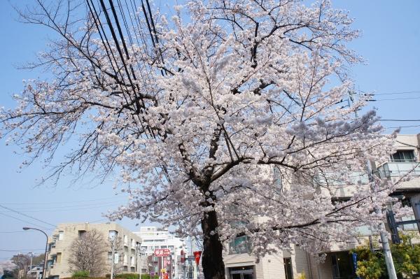 3/29桜